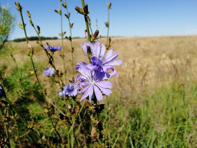 Camas flores silvestres roxas no fundo de um campo de trigo. foco seletivo