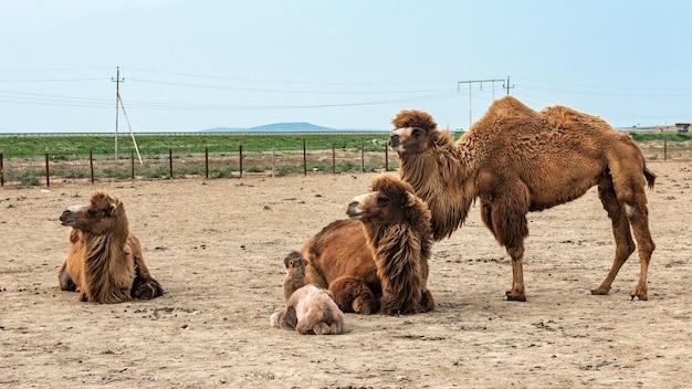 Camel é um ungulado do gênero camelus