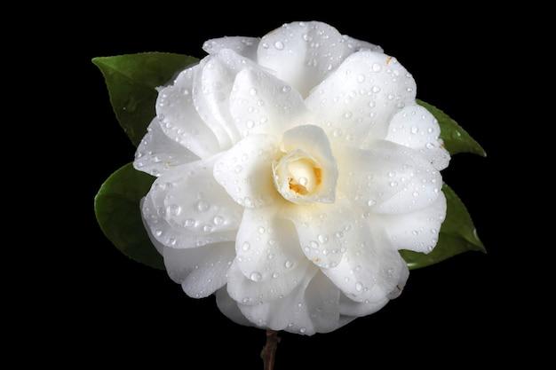 Camélia branca isolada em preto