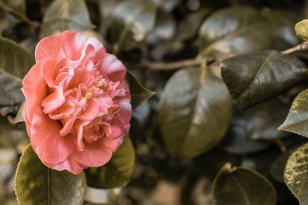 Camélia em flor na primavera. fundo vintage atmosfera com espaço
