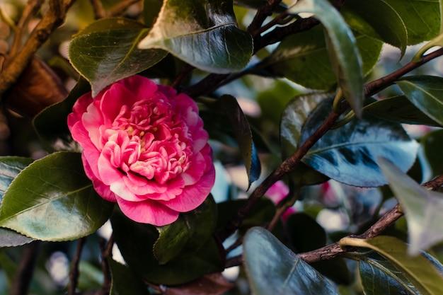 Camélia em flor na primavera.