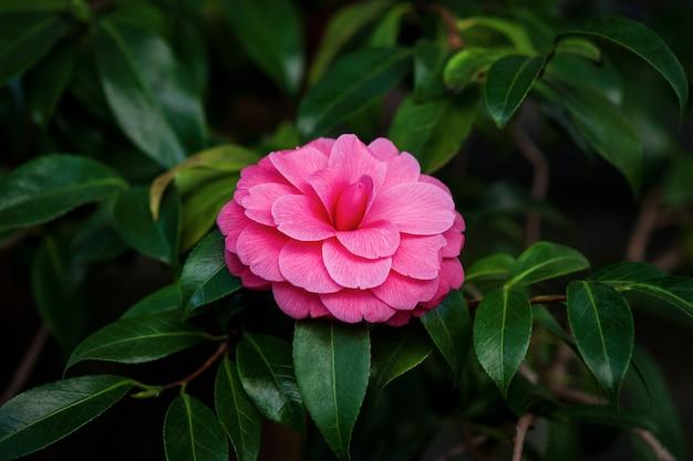 Camélia japonesa (camellia japonica l.) flor rosa dupla formal em uma árvore