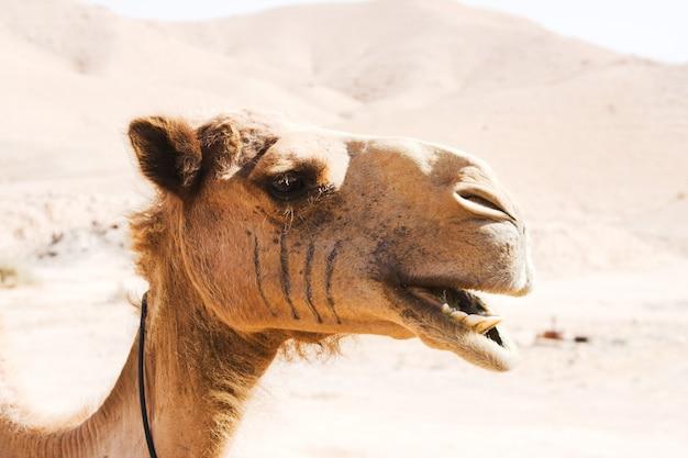 Camelo ao ar livre, na sobremesa, animal e conceito de natureza