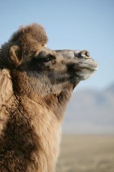 Camelo bactriano, retrato de um camelo mongol