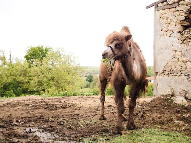 Camelo doméstico de tiro no escuro