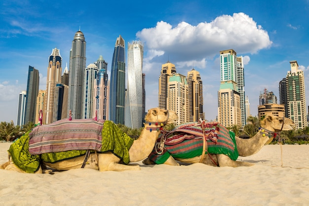 Camelo em frente à marina de dubai, emirados árabes unidos