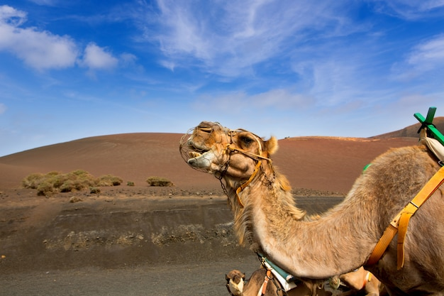 Camelo em lanzarote em montanhas de fogo timanfaya