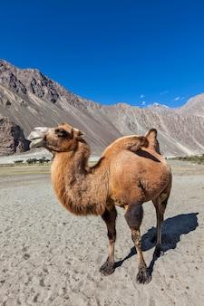 Camelo em nubra vally, ladakh