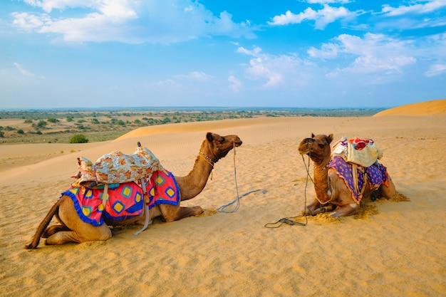Camelo indiano em dunas de areia do deserto de thar, no pôr do sol. jaisalmer, rajasthan, índia