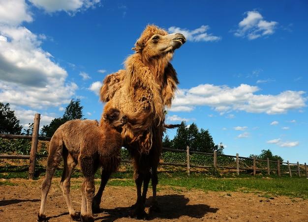 Camelo mãe com bebê