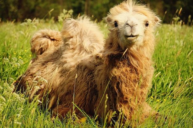 Camelo mastigando comida com a boca aberta deitado isolado na grama verde, horário de verão