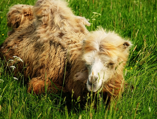 Camelo, mastigar comida com a boca aberta, isolado na grama verde