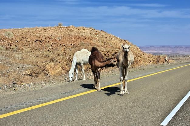 Camelo na estrada nas montanhas da arábia saudita
