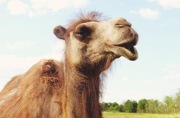 Camelo na grama verde, verão