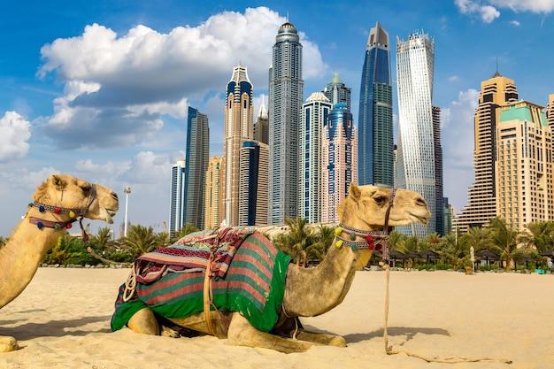 Camelo na marina de dubai, emirados árabes unidos