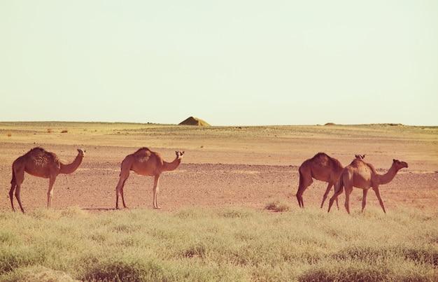 Camelo no deserto quente no sudão, áfrica. fundo de viagens conceituais.