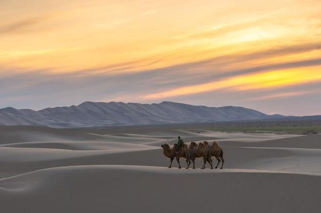 Camelo passando pelas dunas de areia no nascer do sol