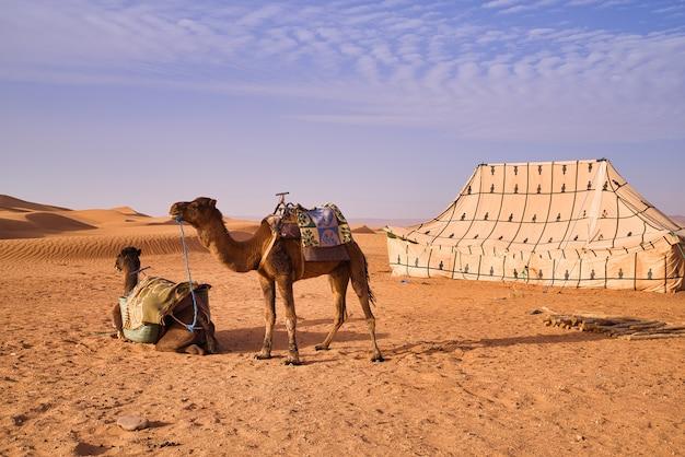 Camelos ao lado de uma tenda no deserto das dunas de areia