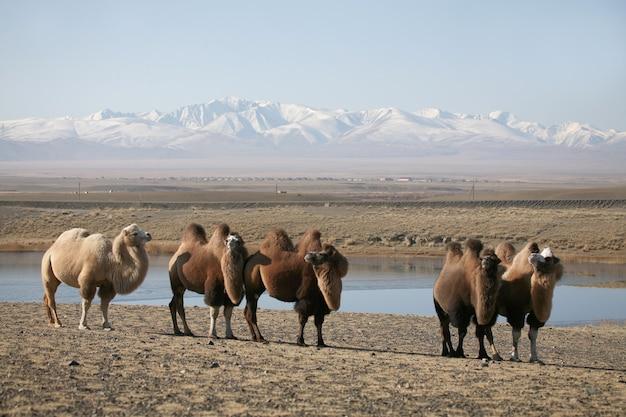Camelos bactrianos nas estepes montanhosas da mongólia