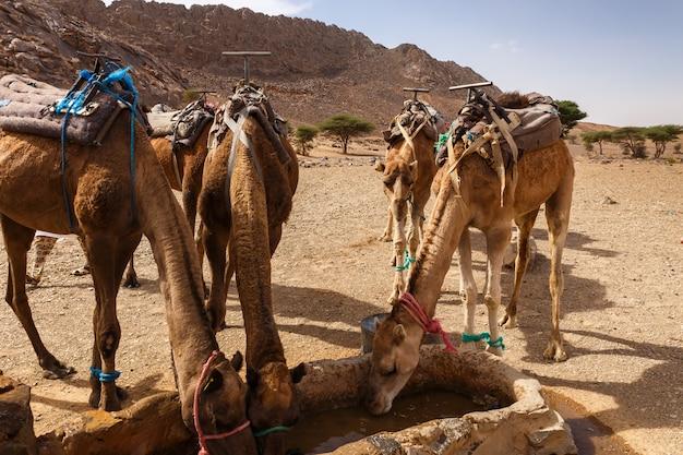 Camelos bebem água do poço