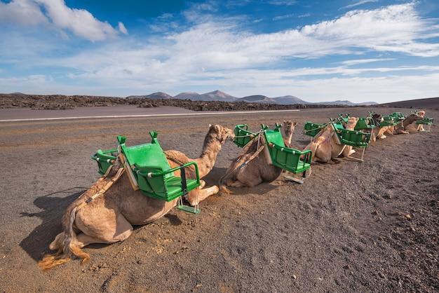 Camelos, descansar, em, paisagem vulcânica, em, parque nacional timanfaya, lanzarote, ilhas canário