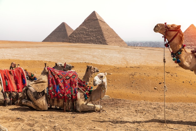 Camelos e as pirâmides no deserto de gizé, egito.