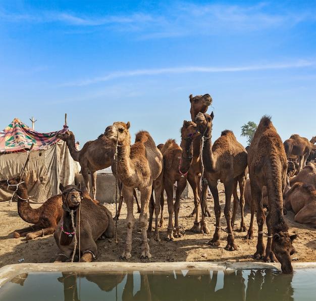 Camelos em pushkar mela (pushkar camel fair), índia