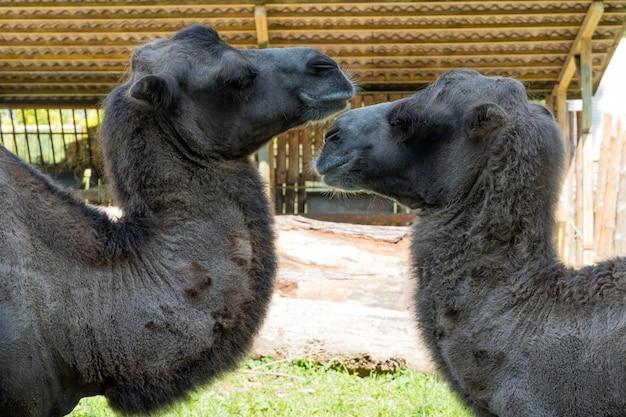 Camelos grandes no zoológico da ucrânia, animais selvagens.