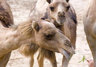 Camelos, mão