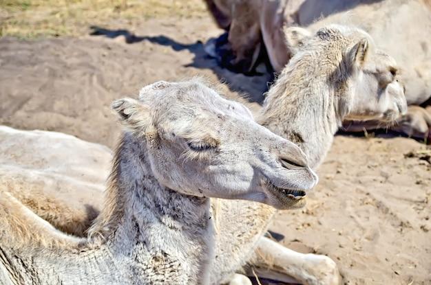 Camelos marrons bactrianos no fundo da areia