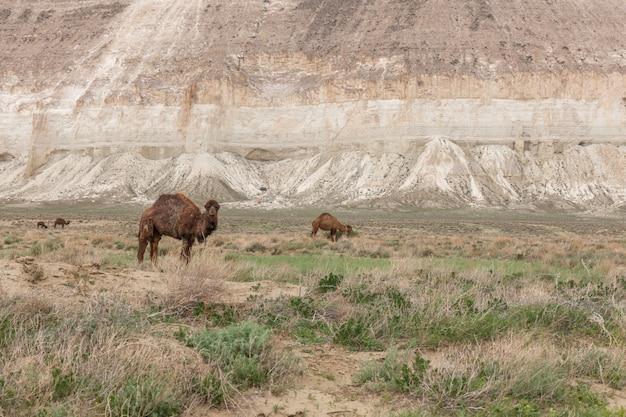 Camelos no planalto de ustyurt. distrito de boszhir. o fundo de um oceano seco tethys. restos rochosos. cazaquistão