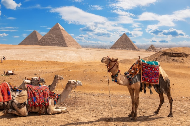 Camelos parados perto das três pirâmides de gizé.