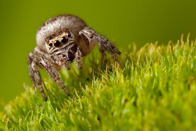 Caminhada de aranha espessa em um belo musgo verde claro, vista frontal