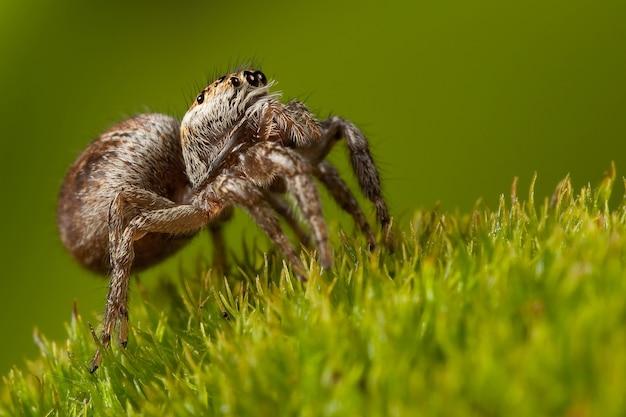 Caminhada de aranha espessa em um belo musgo verde claro, vista lateral