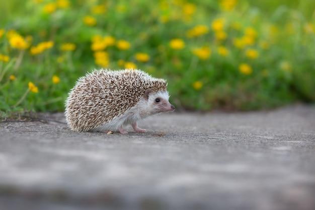 Caminhada europeia do ouriço na estrada concreta com o fundo do jardim.