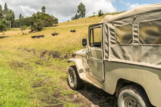 Caminhão safari 4x4 com vacas