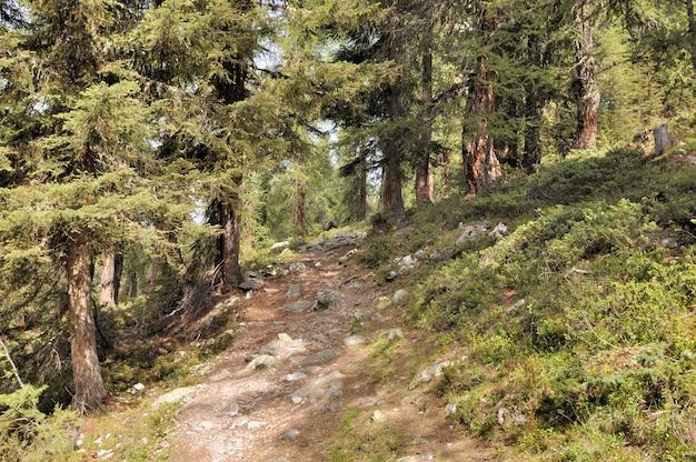 Caminho atravessando uma floresta de larches em alpes europeus