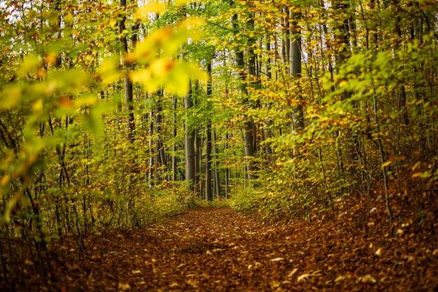 Caminho coberto de folhas marrons no meio de uma floresta com árvores verdes