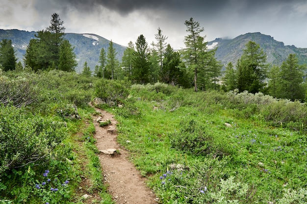 Caminho da floresta de montanha entre cedros e abetos. caminhadas turismo de montanha. escandinavo andando na floresta nas montanhas. acampamento. altai