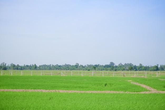 Caminho de caminhada no solo em fazenda de arroz verde com céu azul