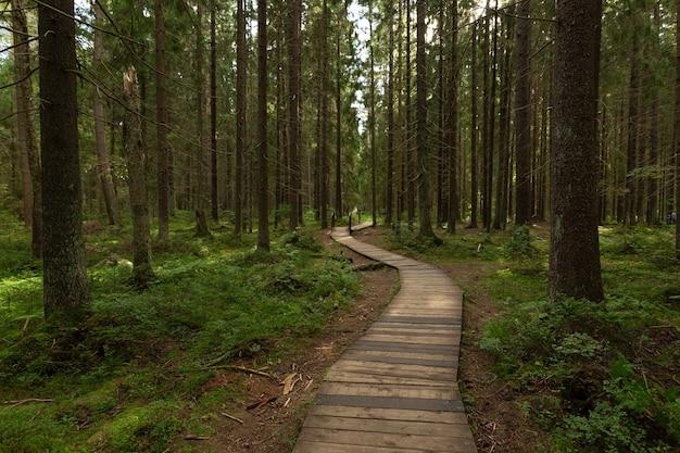 Caminho ecológico na floresta de pinheiros no noroeste da rússia.