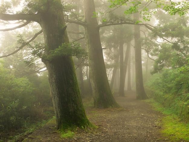 Caminho enevoado na floresta de cedro japonês