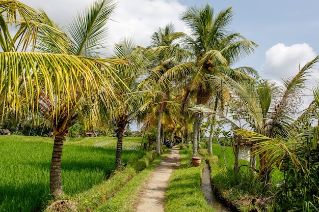 Caminho entre palmeiras e campos de arroz.