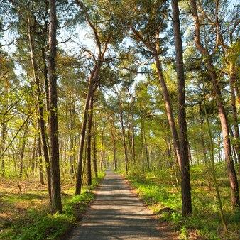 Caminho estreito do pé na floresta de pinheiros na primavera