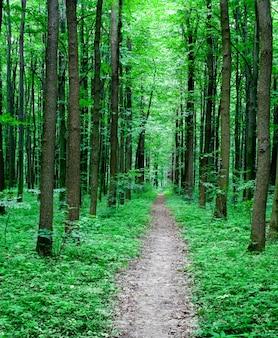 Caminho na floresta com árvores altas
