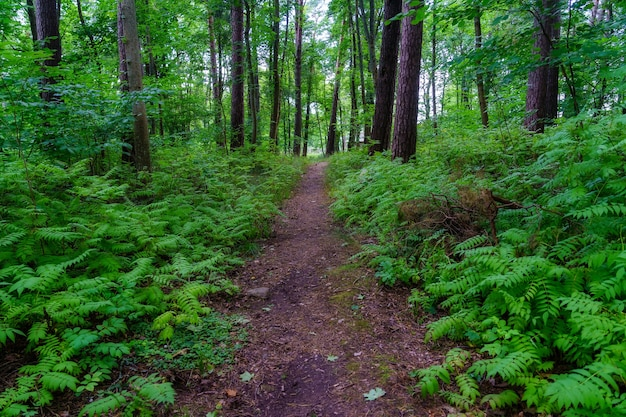 Caminho na floresta com samambaias e árvores altas no dia de verão.
