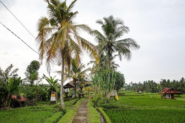 Caminho na selva. arrozais ao redor.