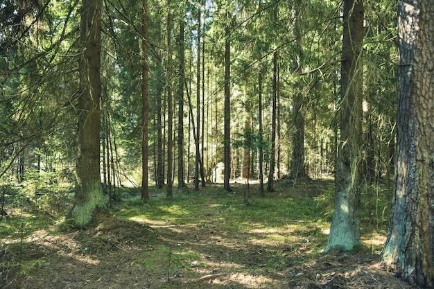 Caminho nas coníferas da floresta de coníferas