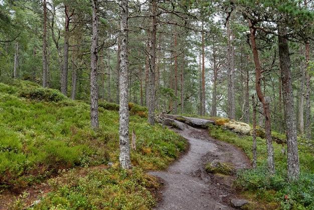 Caminho pela floresta de pinheiros