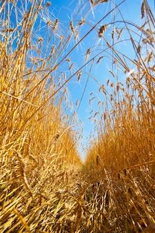 Caminho pelo campo de trigo